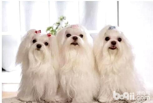 怎么清理狗毛 狗毛清理技巧-成犬饲养
