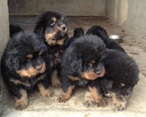 藏獒幼犬该怎么饲养